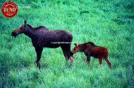 Moose Calf Lemhi Mountains