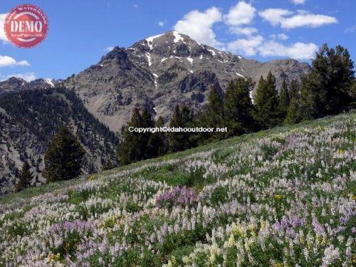 Boulder Mountain Wild Lupine Basil's Peak