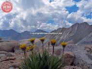 Lone Wildflowers Sierras