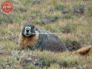 Sierra Marmot Kings Canyon