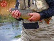 Silver Creek Brown Trout