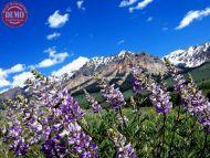 Lupine Boulder Mountain Wilderness