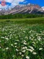 Wildflowers Boulder Mountain Wilderness