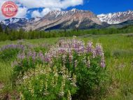 Boulder Mountain Wilderness Lupine