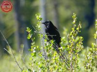 Redwing Black Bird Salmon River Mountains