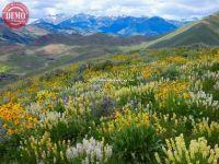 Wildflowers Boulder Mountains Prospect Ridge