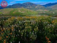 Wildflowers Bald Mountains Sun Valley