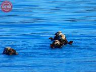 Sea Otters Harvard Glacier Alaska