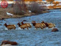 Elk Crossing Salmon River