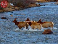 Elk Herd Crossing Salmon River