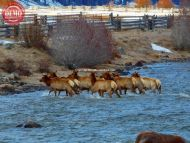 Crossing Salmon River Elk Herd