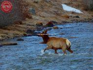 Crossing Salmon River Elk