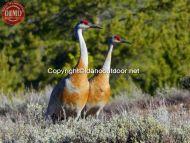 Sandhill Cranes Boulder Mountains