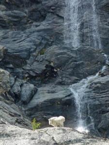 Alice Lake Mountain Goat
